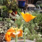 poppies in container