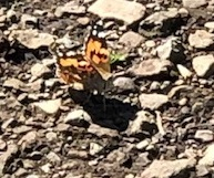tiny butterfly, Mt. Tamalpais